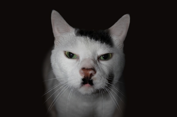 Kitler: Snowball The Cat That Looks Like Hitler