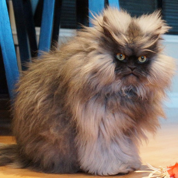 Colonel Meow, The Holder Of Guinness World Record For Longest Cat Hair