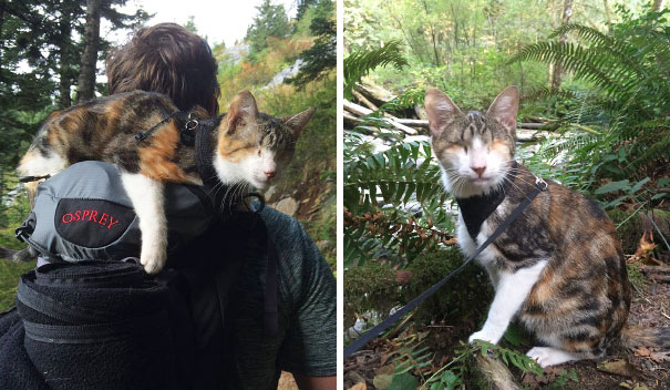 Honey Bee, The Blind Hiking Cat