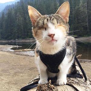 Honey Bee, The Blind Hiking Cat