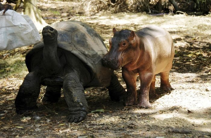 Tortoise And Baby Hippo