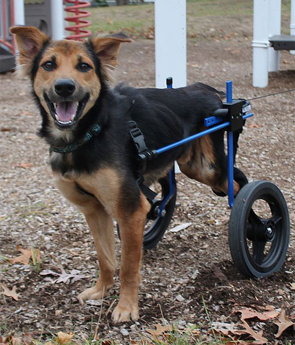 paralyzed-dog-puppy-rescue-thailand-canada-leo-10
