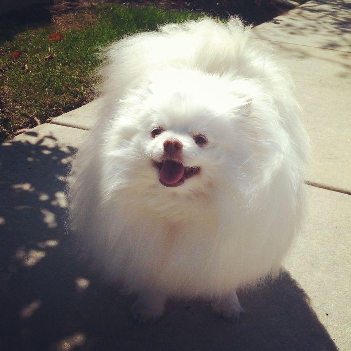 Prince The Pomeranian