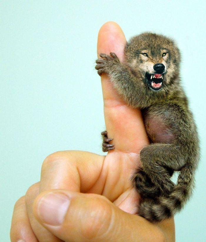 Ferocious Pygmy Marmowolf