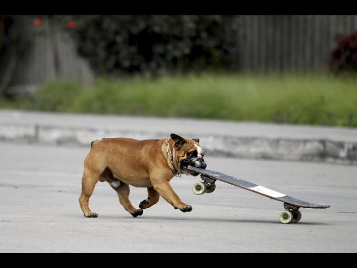 how to teach your bulldog to skateboard