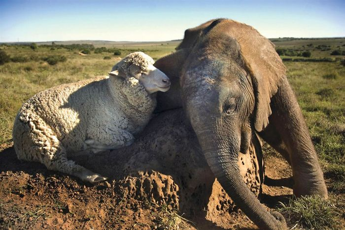 Sheep And Elephant Are Bff