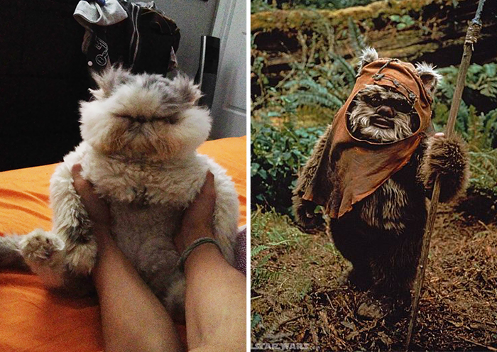 This Cat Looks Like An Ewok