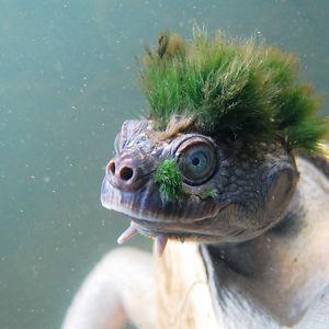 Mary river turtle algae - photo#31