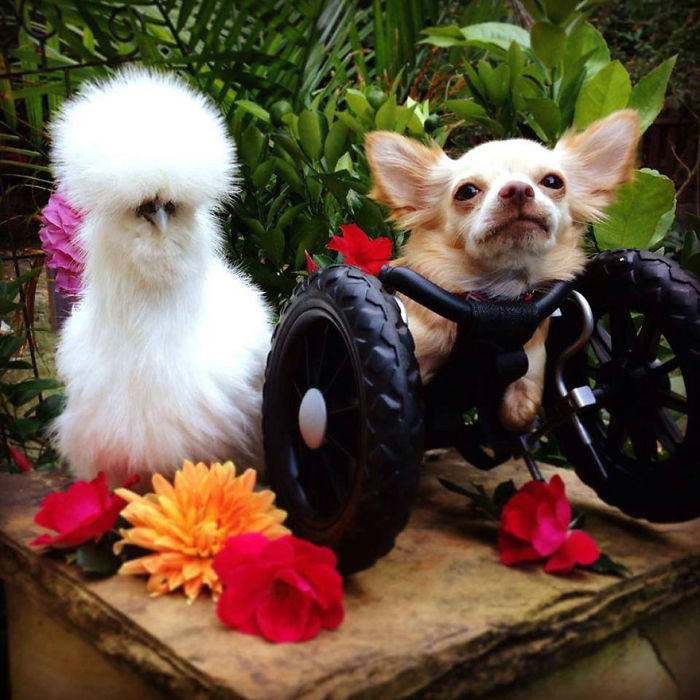 Fluffy Chicken And A Two-legged Chihuahua