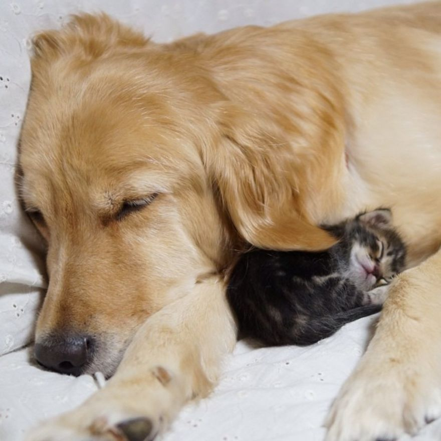 Golden Retriever And An Abandoned Kitty