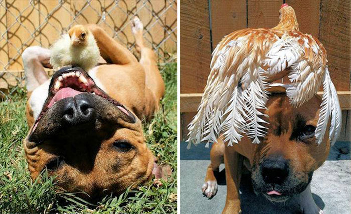 Best Friends Pit Bull And A Chicken