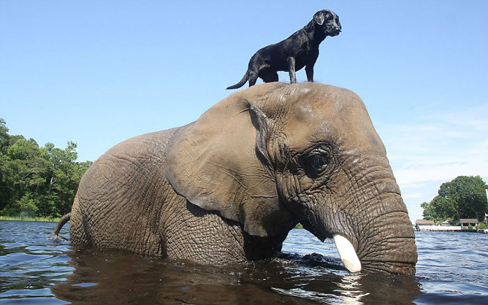 Bubbles The African Elephant And Bella The Black Labrador