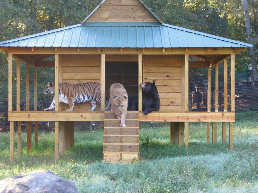 Shere Khan, Baloo And Leo