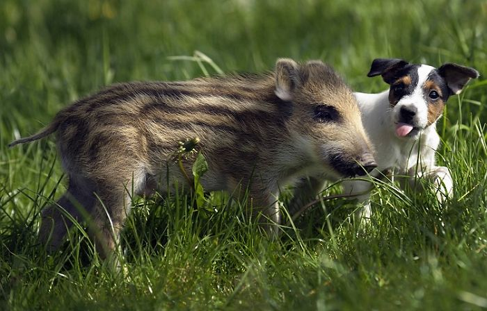 Mani The Wild Boar Piglet And Candy The Dog