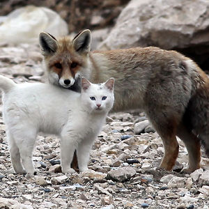 Cat And A Fox