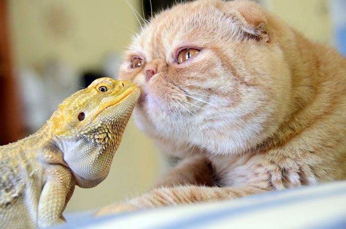 Bearded Dragon And Cat
