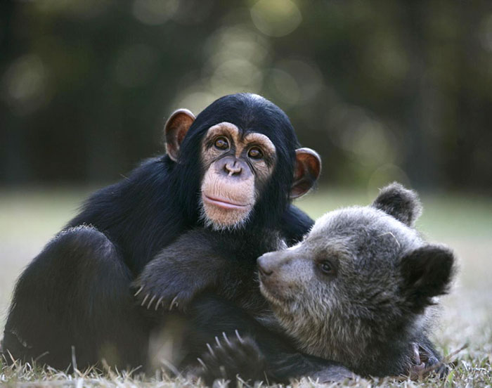 Baby Grizlly Bear And Chimp