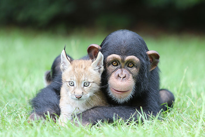 Baby Chimp And Lynx