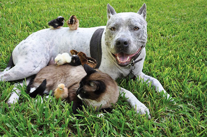 Pitbull, Cat And Chickens