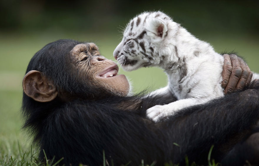 Anjana The Chimpanzee And Tiger Cubs