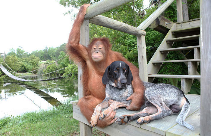 Suryia the Orangutan and Roscoe the Blue Tick Hound