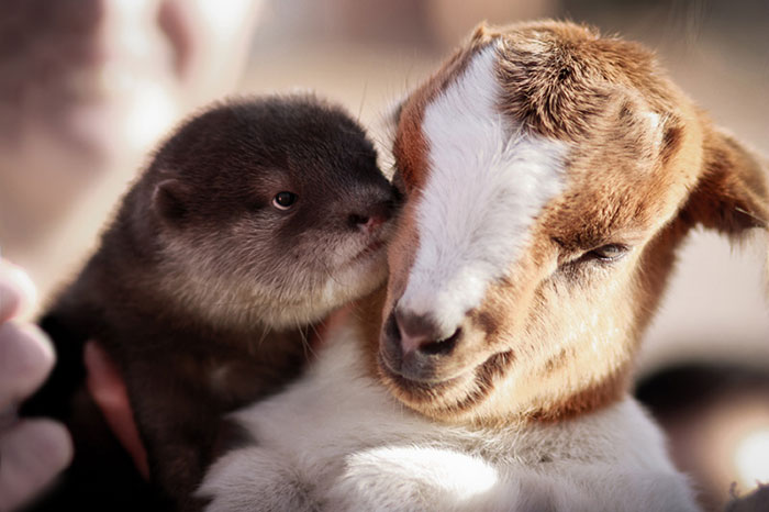Goat And Otter
