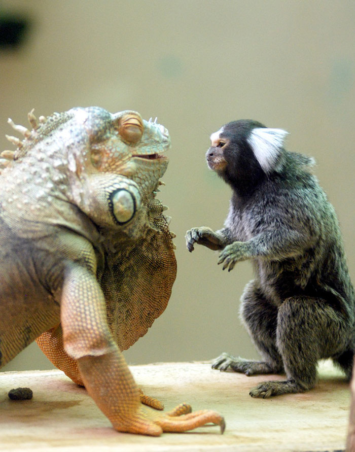 Green Iguana And Marmoset