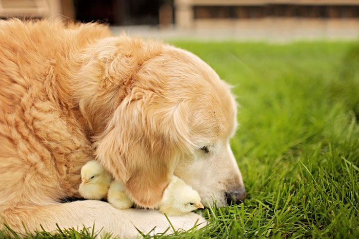 Golden Retriever Champ And Chickens