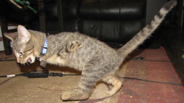 Mercury, The Two Legged T-rex Cat
