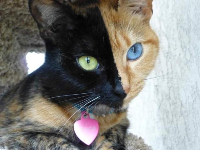 Venus The Amazing Chimera Cat