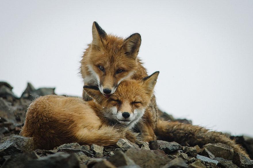 wild-foxes-ivan-kislov-2