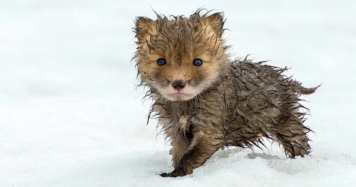 Russian Miner Spends His Breaks Taking Photos Of Foxes In The Arctic Circle