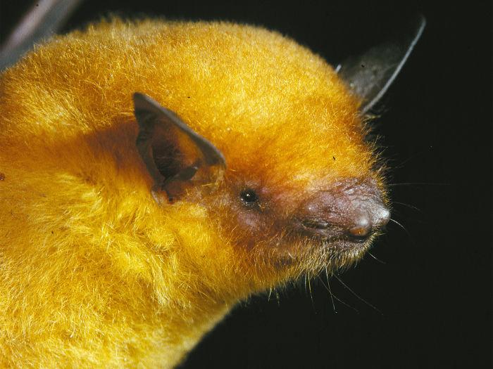 Bolivian Golden Bat - Myotis Midastactus