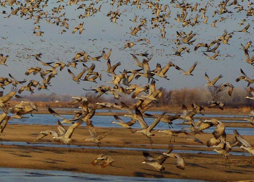 Sandhill Cranes Platte River, Ne