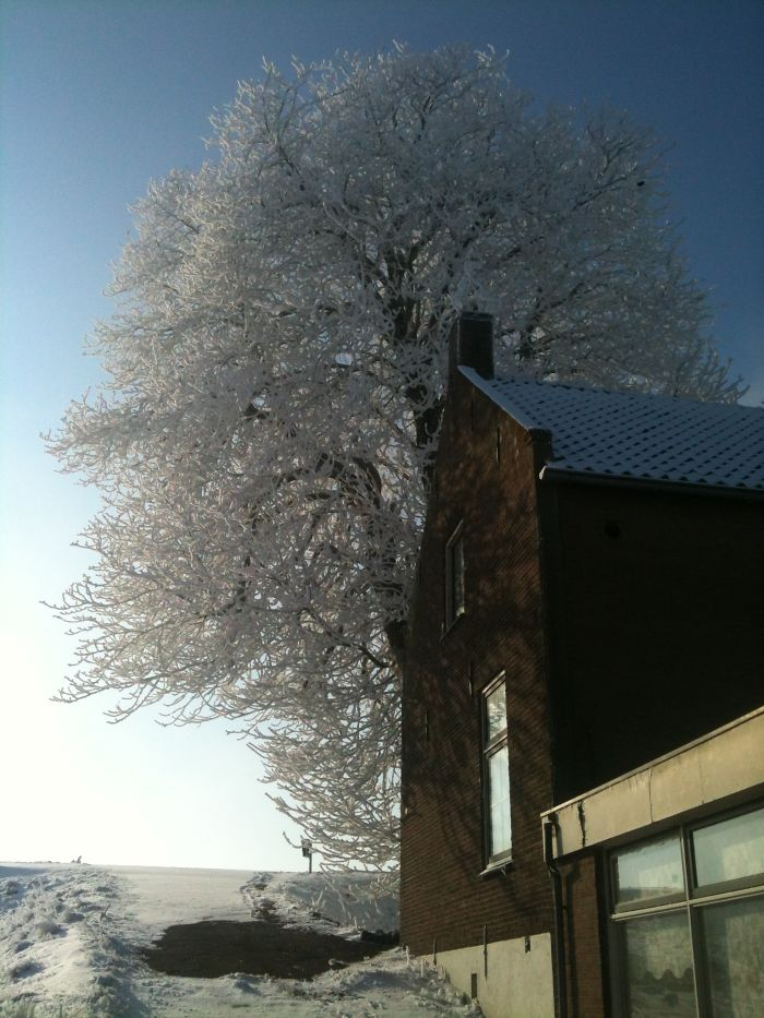 Chestnus Tree In Winter.