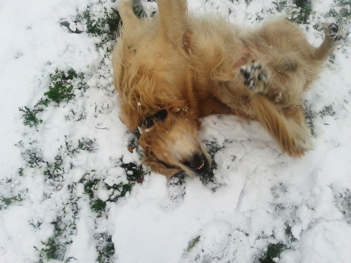 Mayo, Golden Retriever, Greeting The First Snow