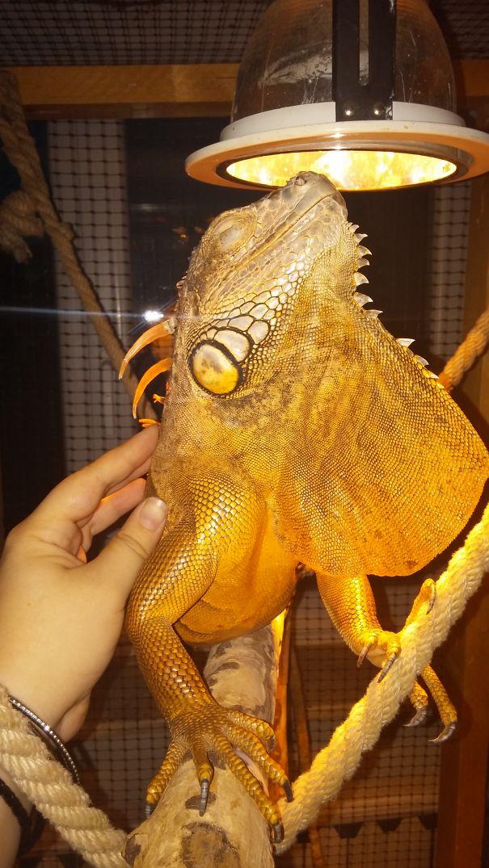 Iggy The Iguana Loves A Good Scratch