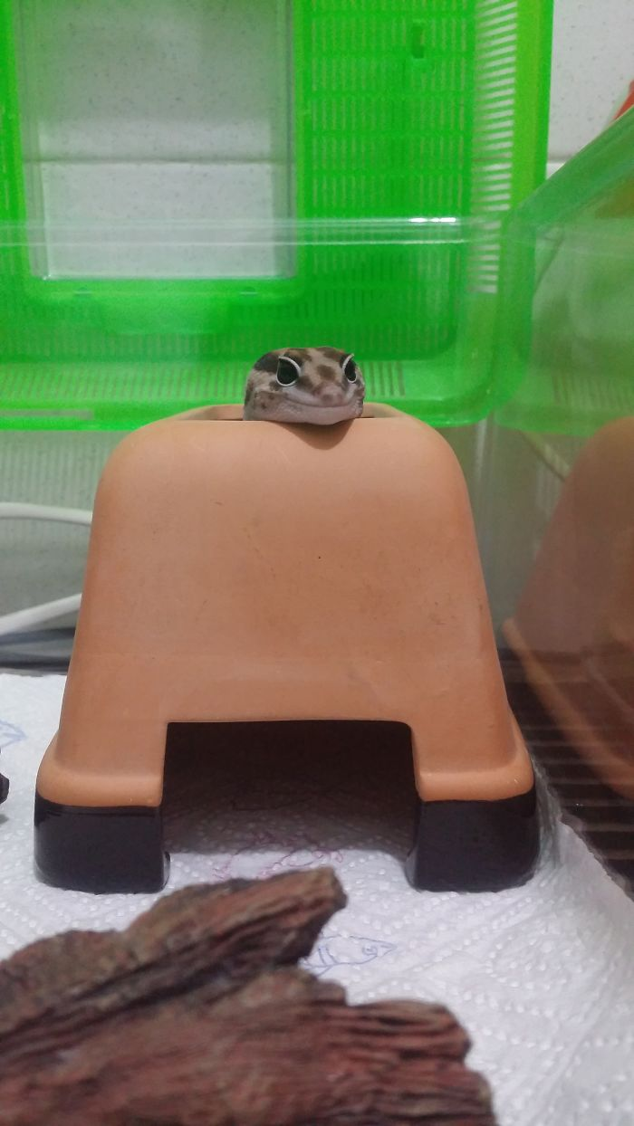 Smiling Fat Tailed Gecko :)