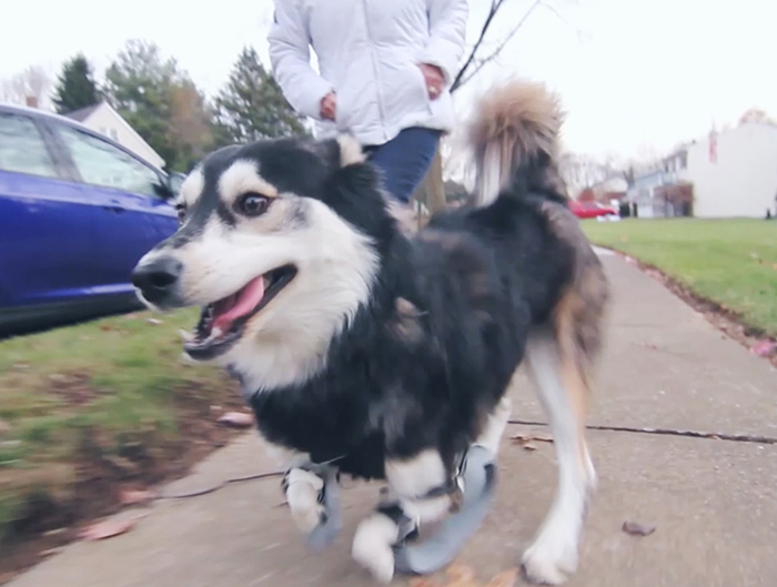 3d-printed-prosthetic-legs-deformed-paws-dog-derby-11