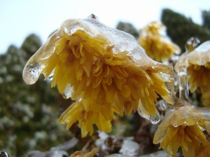 Frosen Yellow Flowers
