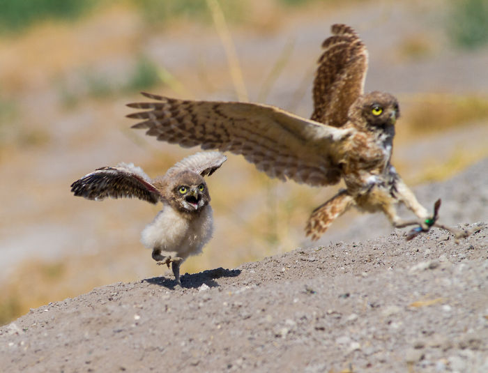 Baby Burrowing Owl Wants His Lunch!