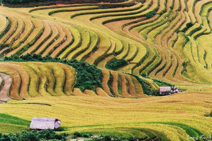 Rice Field In Mu Cang Chai, Yen Bai, Vietnam