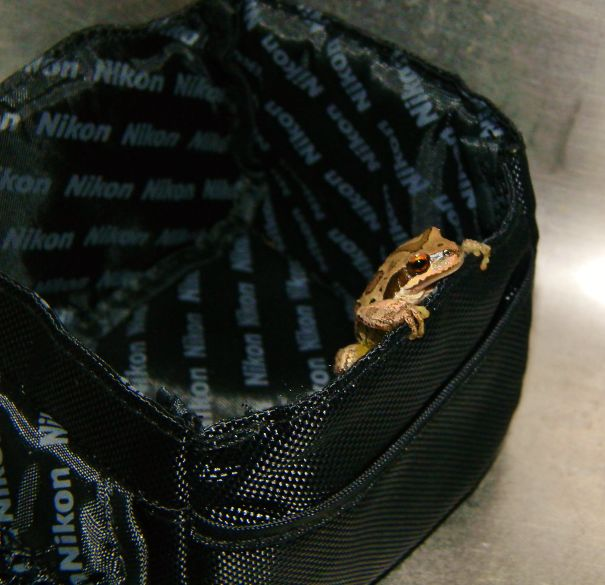 The Frog That Appeared In My Camera Case One Random Morning!