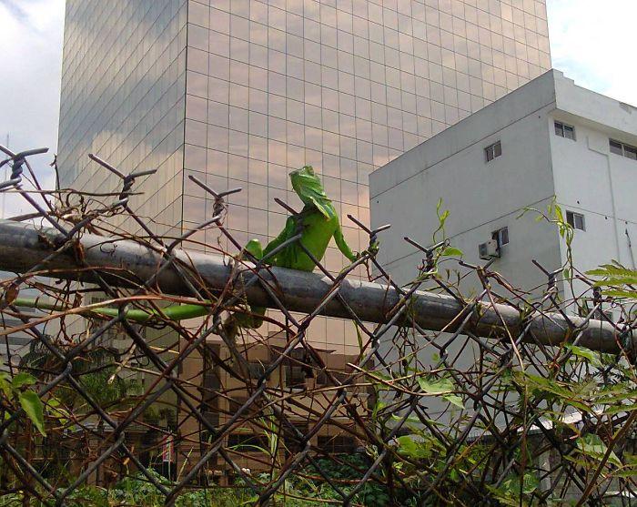 Baby Iguana Posing In The City