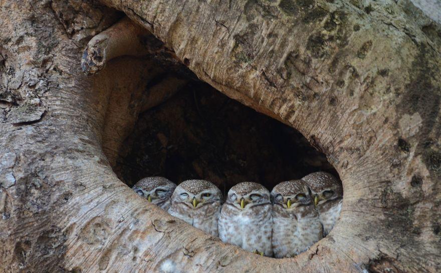 Kanha Owls