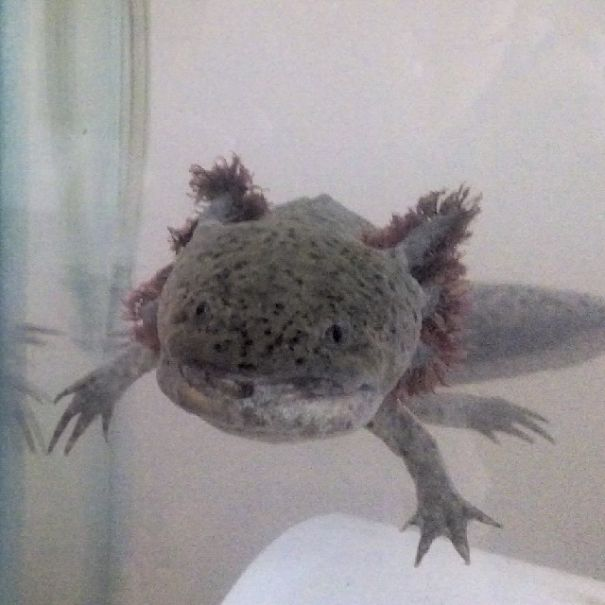Meet Luis, My 3 Years Old Axolotl. He Looks Like A Pokémon!