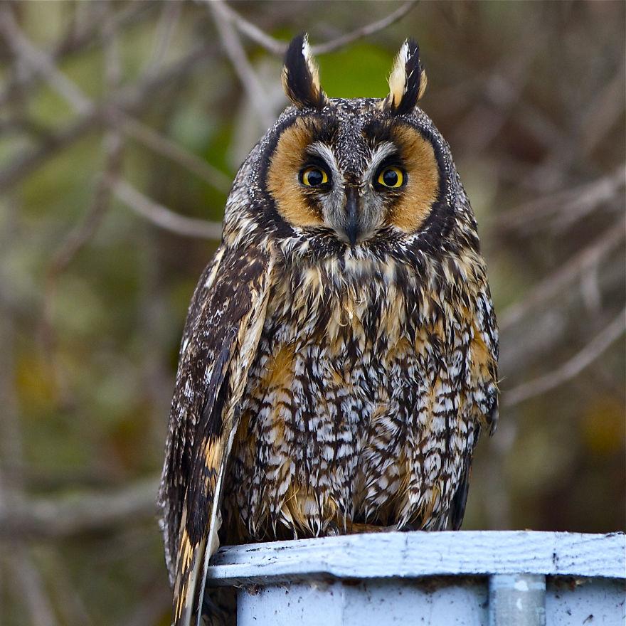 Long-eared Owl, Orange County, Ca.