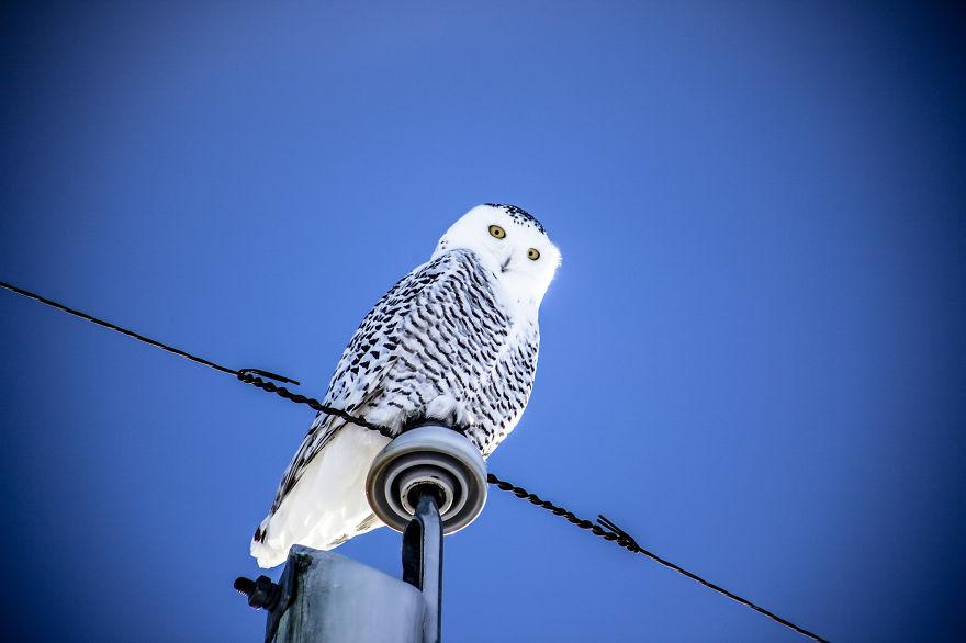 Snowy Owl, Southern Alberta.