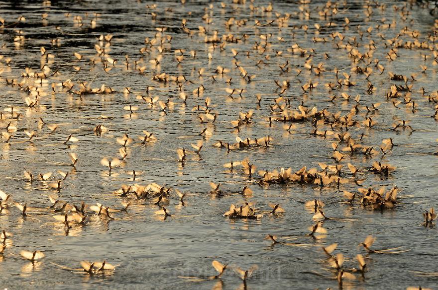Mayfly Swarming On River Tisza, (hungary)