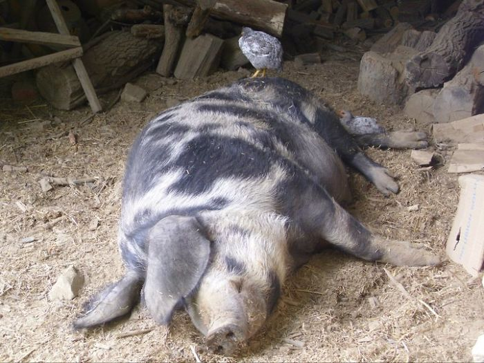 Pötty Ödon The Pig And The Cicken's